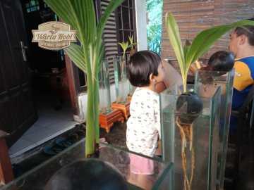 bonsai tunas kelapa pada media aquarium miharso jogjakarta