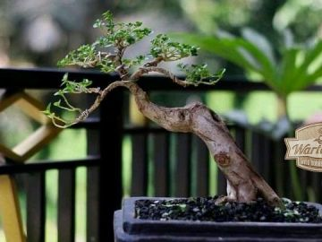tips perawatan bonsai terkini