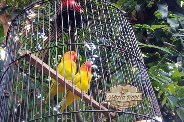 TIPS RAWAT LOVE BIRD TERKINI