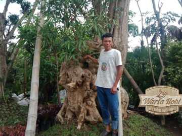 pohon pule milik joko gendut jamal jogja