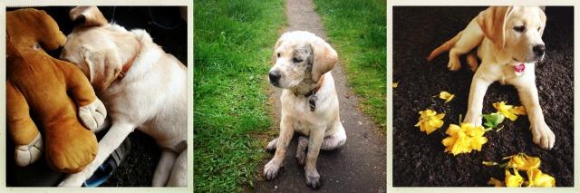 MollieLove Labrador Welpe was eigenes Blog 1