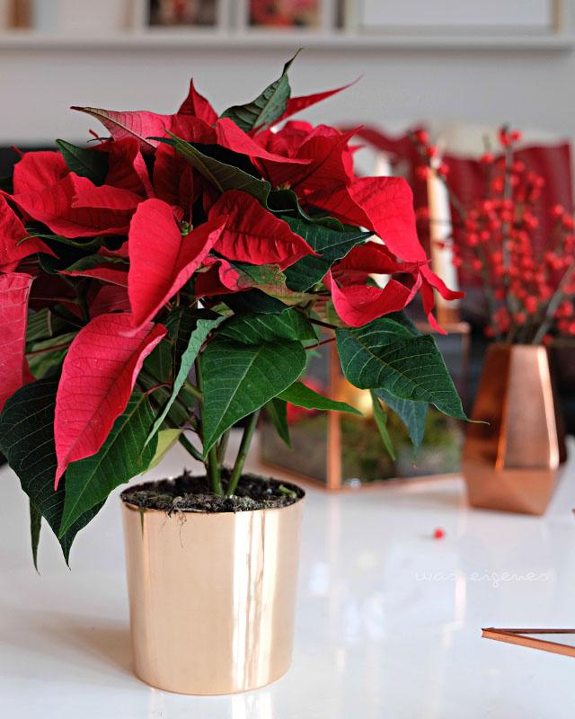 weihnachtsstern tradition was eigenes blog