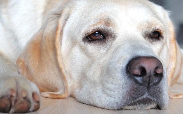Mollie | Labrador | Wovor hast Du Angst? | Schreibzeit | waseigenes.com