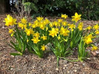 L-21.03 Daffodill