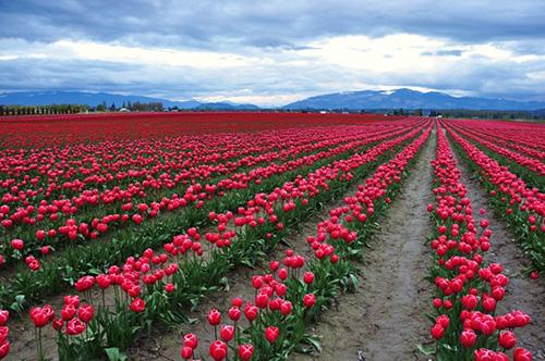 Tulip_field_commerce