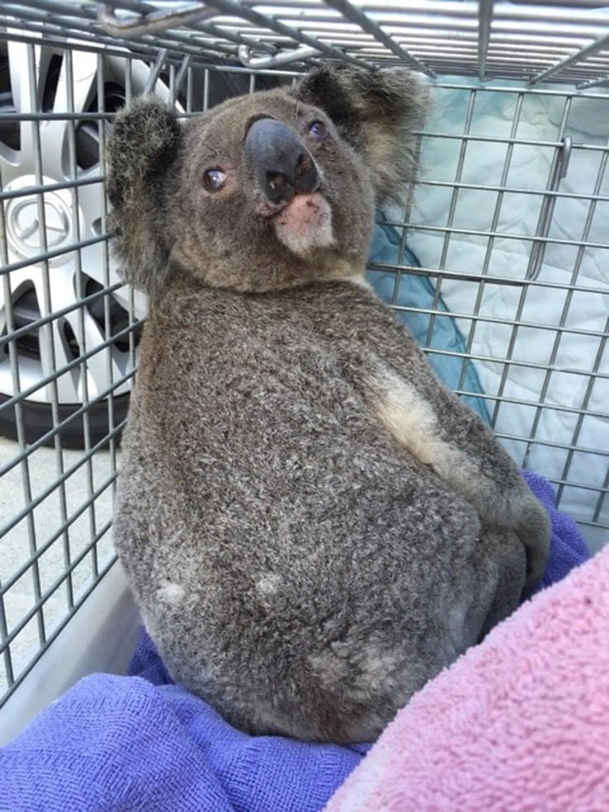 (Courtesy of Wildcare Australia Inc)