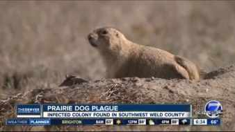 Image result for Plague-infected prairie dogs prompt shutdowns near Denver. Fleas can spread it to pets and humans.
