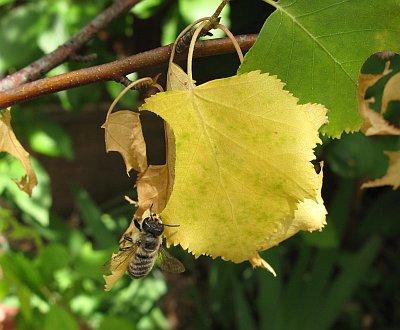 Blattschneiderbiene2012_4.jpg