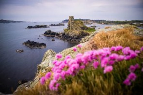 Purple flowers in front of a castle ruin by the sea in Scotland