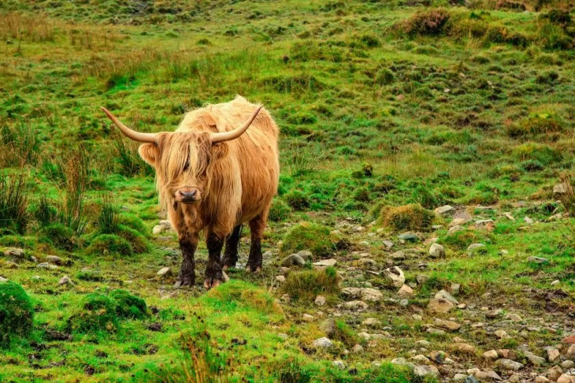 A Highland Cow on the Isle of Skye