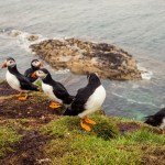 The Staffa & Treshnish Isles Wildlife Tour to see Puffins in Scotland