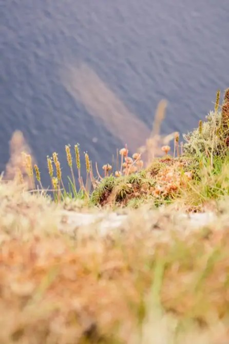 Flowers on the cliffs of St Kilda