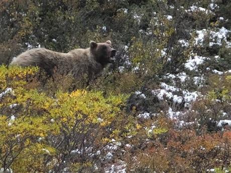 grizzly bear_218605