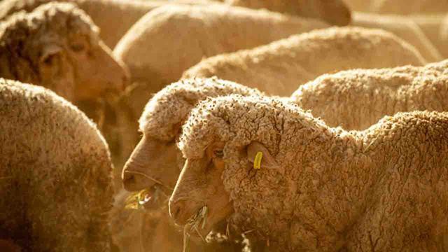 sheep_1553936718463_79782564_ver1.0_640_360_1553952951956.jpg
