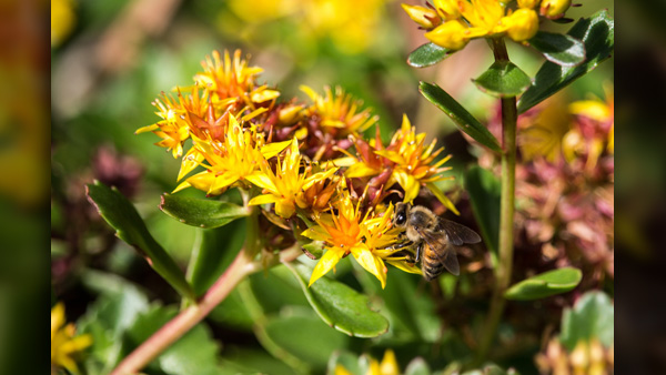 ASOW_honeybee on flower_Pixabay_0515_1557949916987.jpg.jpg