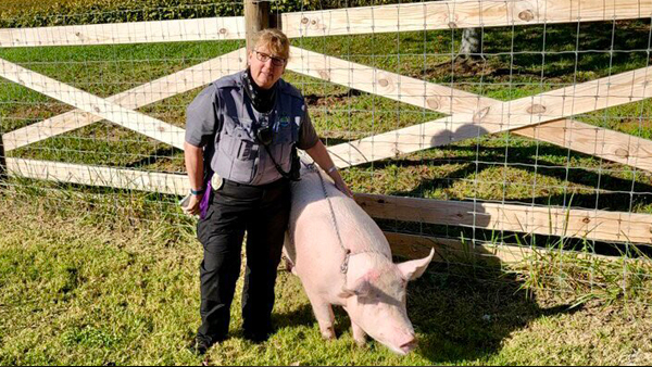 knoxville animal control pig