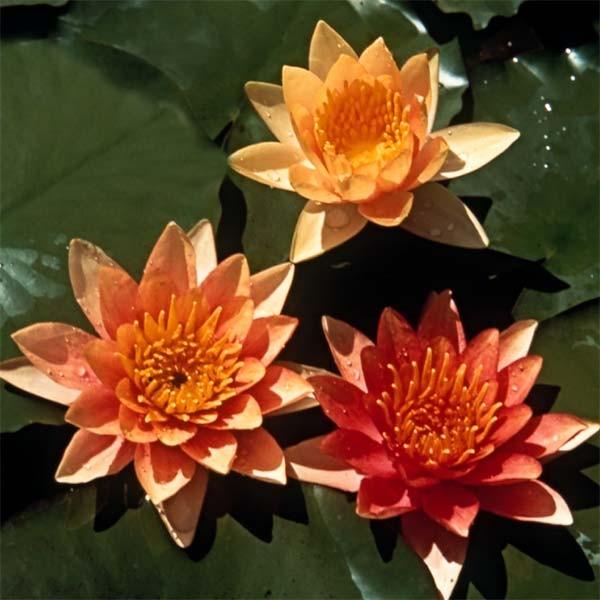Full Sun Pond Plants