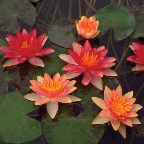 Marginal Pond Plants