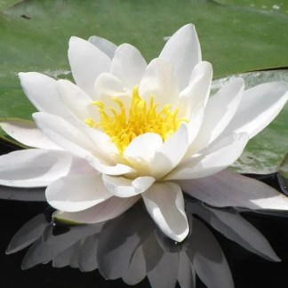 Waterlily 'Marliacea Albida'