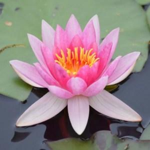 Waterlily Nymphaea 'Laydekeri Lilacea'