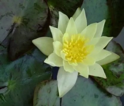Nymphaea 'Pygmaea Helvola' waterlily
