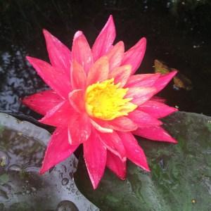 Nymphaea 'Wanvisa' waterlily