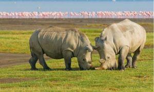 rinoceronti e fenicotteri