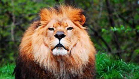 Tornano i leoni in Ruanda