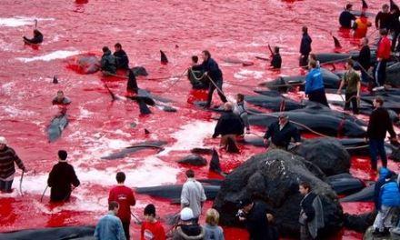 Nelle isole Far Oer: fieri ogni anno di ammazzare 95 balene