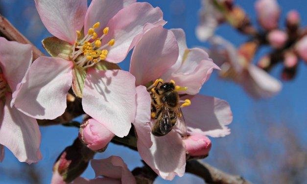 L'impollinazione dei mandorli e la strage delle api