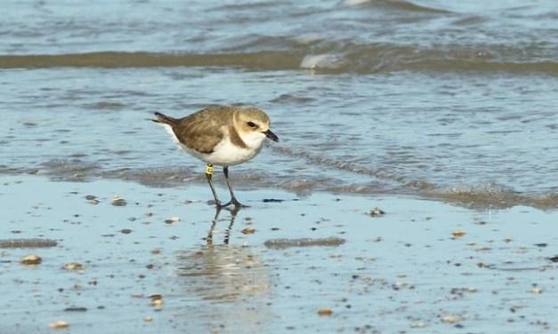 """""""Un tipo da spiaggia"""": alla scoperta del fratino e della sua tutela"""