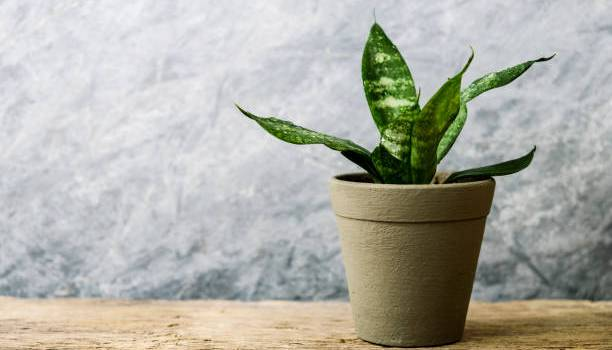 watering snake plant