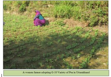A women farmer adopting G-10 Variety of Pea in Uttarakhand