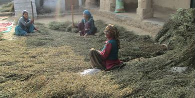 Threshing operations done by women-A scenario of hill Agriculture