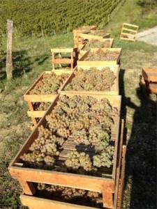 Domaine de la Pinte grapes drying