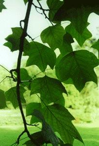 liriodendron