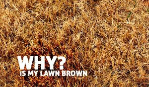 Why is my lawn brown post image
