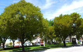 Mahogany - large 50 ft, plant away from parked cars . Exists on the north side of 14th St. across from the Waverly.