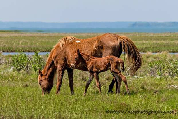Wild Island Orchid and foal