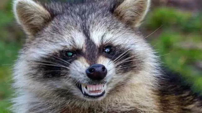 Raccoon tests positive for rabies in Norfolk neighborhood