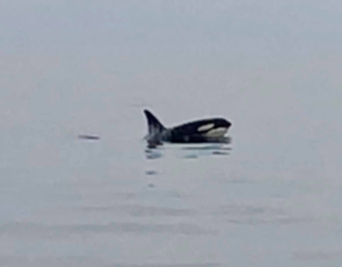 An orca off the coast of Virginia Beach on Feb. 3, 2019. (Photo courtesy of Playin' Hookey Charters) (3)_1549316274455.jpg.jpg
