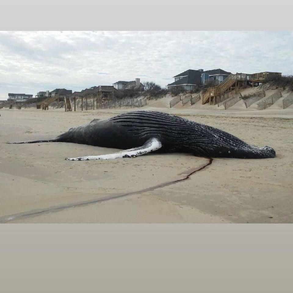 NC Corolla Whale2_1550499766866.jpg.jpg