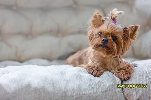 Yorkshire Terrier Puppies Pros And Cons Waycooldogs