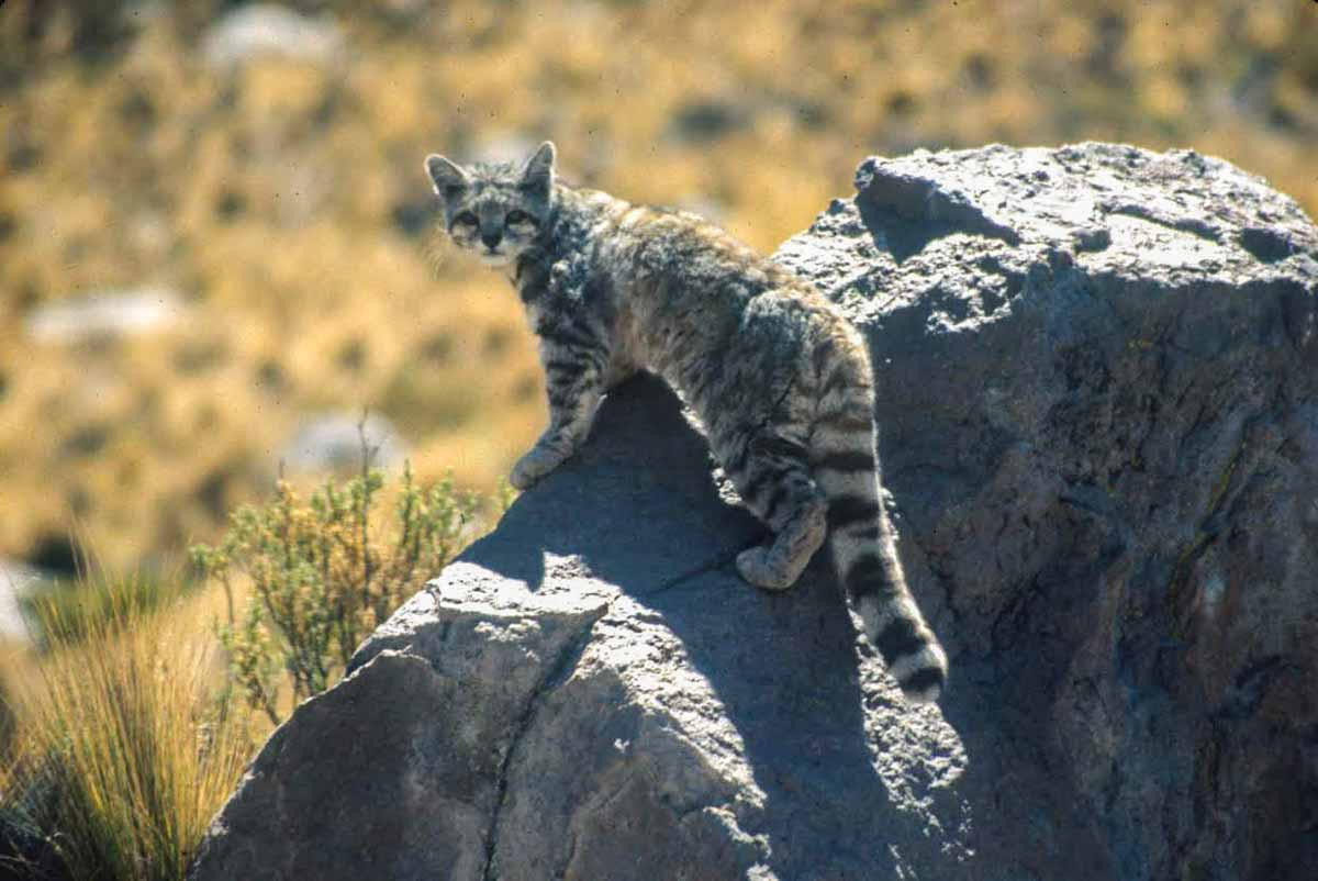 Andean Cat Rocky Landscape