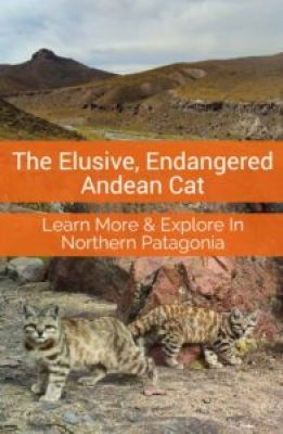 In the stark landscape of the Andes lives the little known, endangered Andean Cat. Learn more about the cat and it's remarkable habitat.
