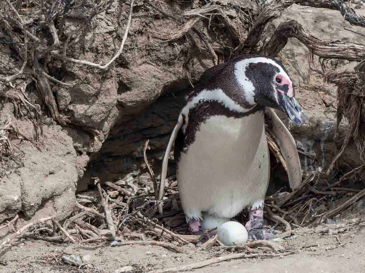 Magellanic Penguin Nest