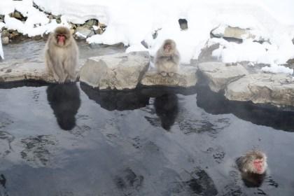 Snow monkeys in an onsen
