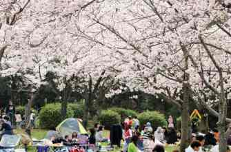 half-day-cherry-blossom-viewing-and-nagoya-castle-tour-in-nagoya-414289