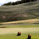 A wider shot of the bison