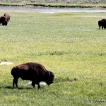 Wyoming Bison grazing in Yellowstone